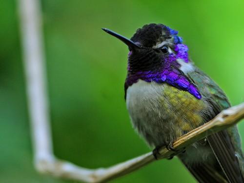 Hummingbird_e
