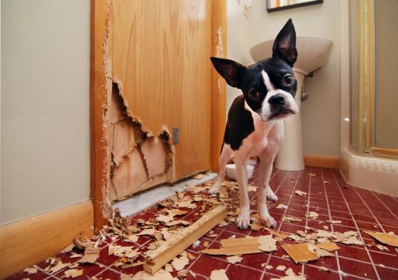 Resultado de imagen para 犬 boster terrier 悲しい