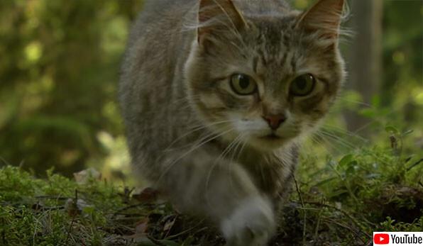 チェルノブイリの立入禁止区域で暮らす野生動物たちのドキュメンタリー映像