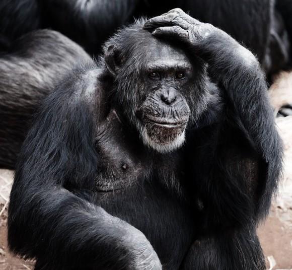 フッサフサでハンサムか?アレの巨大さか?霊長類のオスが直面する「どっちかしか選べない問題」