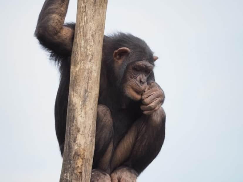 chimpanzee-830524_640_e