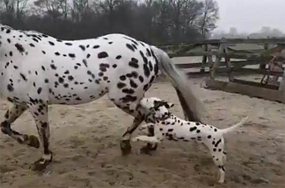 ねえどうやったらそんなに大きくなれるの?ボクも大きくなれる?ねえなれる?(ダルメシアン犬)