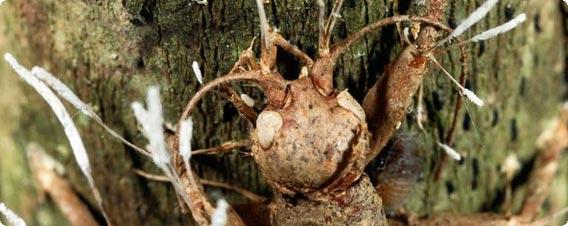 アリに寄生しゾンビ化させる新種の昆虫寄生菌が発見される(ブラジル)
