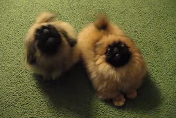 毛玉にしか見えない、ふわっふわのペキニーズ2匹