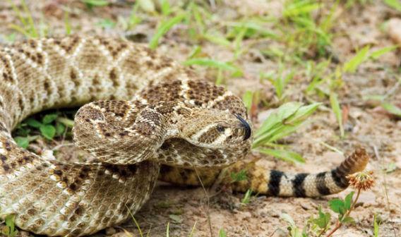 08-Texas-Rattlesnake-Roundup