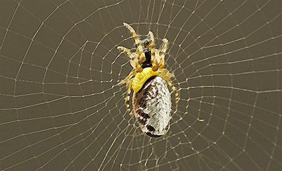 クモを操り一方的に搾取する寄生バチ、殺す直前に自分専用の強固な網まで作らせていた(神戸大学研究)