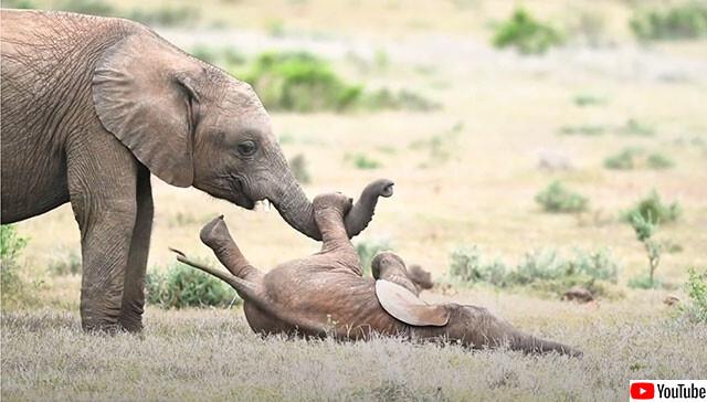 ゾウの兄弟のほのぼのくすぐりっこ