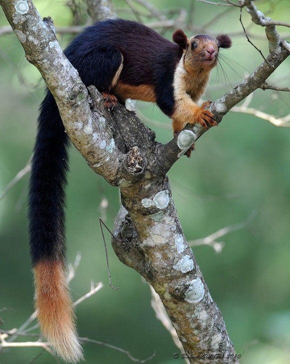 2Malabar_Giant_Squirrel_e