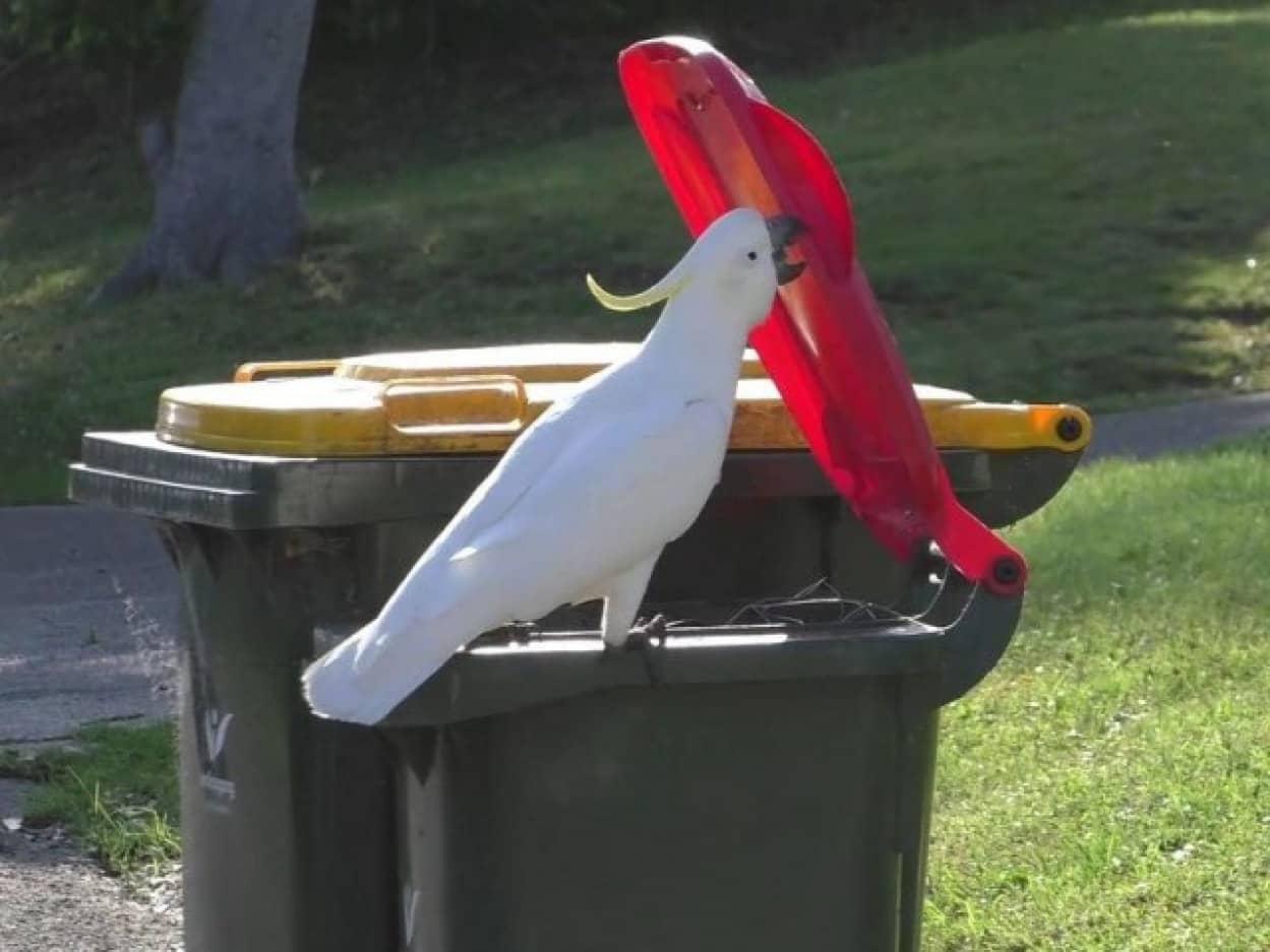 賢いオウム、キバタンがゴミ箱の開け方を攻略し、仲間に伝授