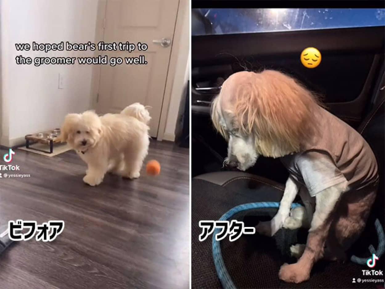 ペニーワイズ化がすぎる。犬のヘアカット失敗、ビフォア・アフター