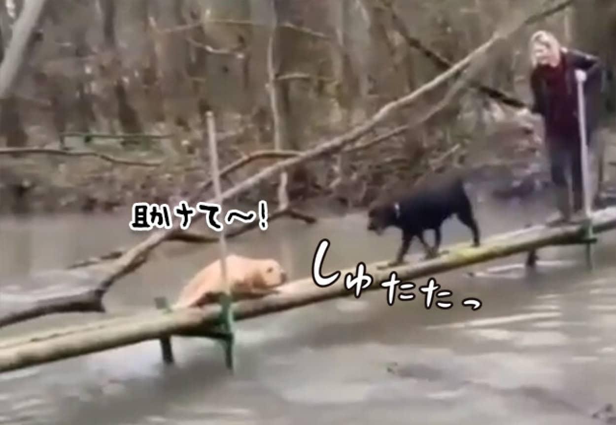橋から落ちそうになっている犬に駆け寄った黒犬、その結末は?
