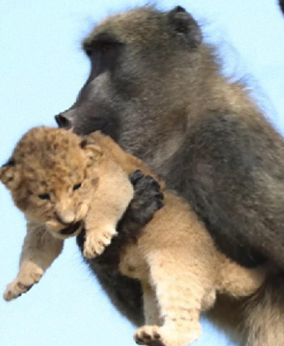 ライオンの赤ちゃんがヒヒに抱かれる。『ライオン・キング』のワンシーンのようだと話題になったがその裏にはこんな現実が
