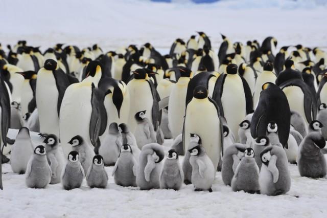 コウテイペンギンの隠れコロニーが続々と発見される