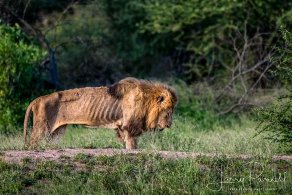 天命を全うし、自然に帰っていく。年老いてやせこけた一頭のオスライオンが最期を迎える時