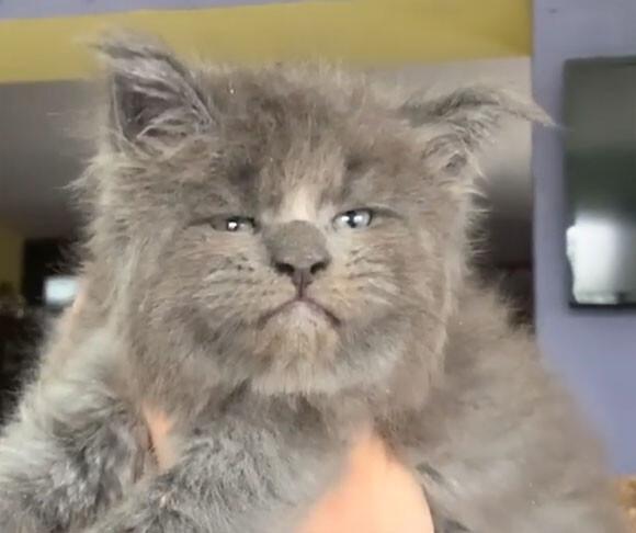 吾輩は猫である。子猫時代から貫禄のある表情を見せるメインクーンの子猫