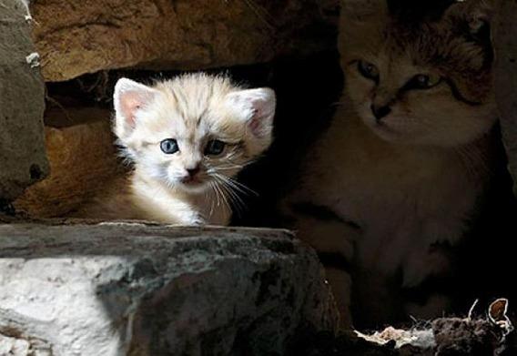 sand_cat_kitten_01