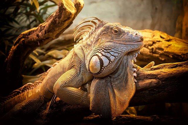 lizard-804114_640