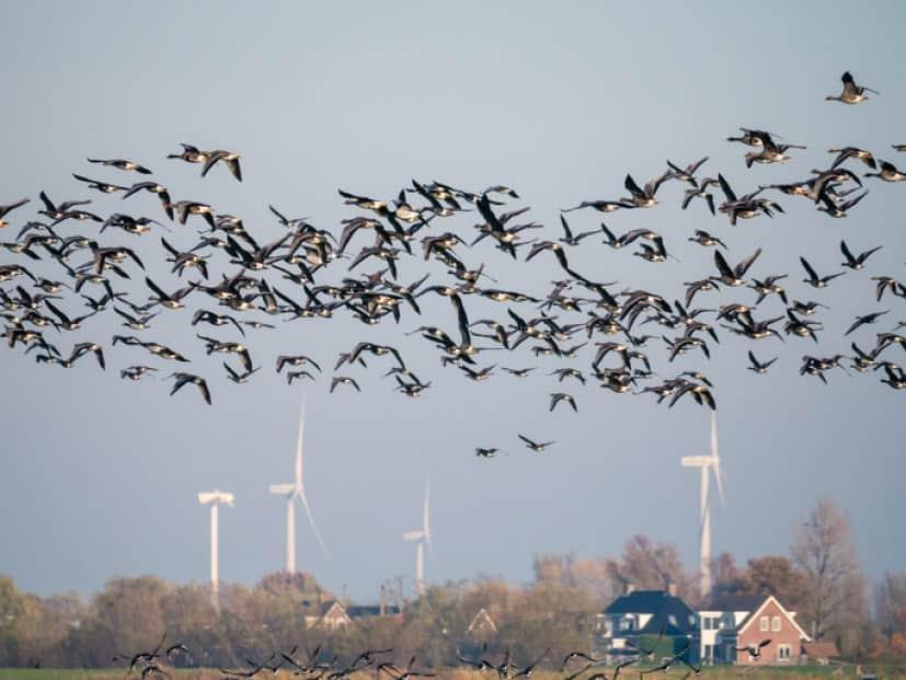 風力発電機と鳥の衝突事故