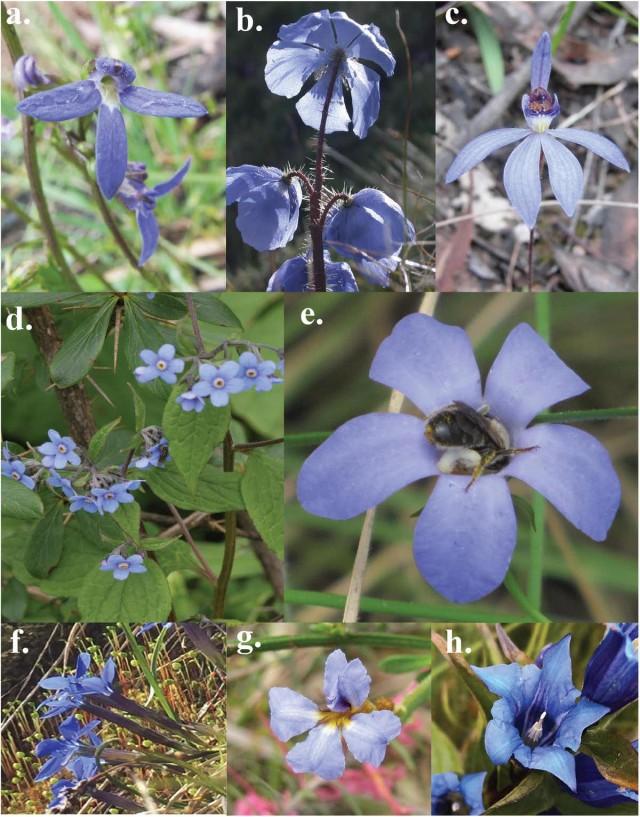 自然界には珍しい青い花