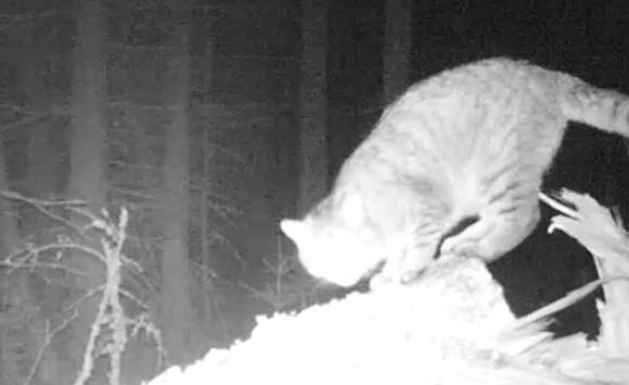 体長1.2メートル!スコットランドの森で絶滅危惧種の巨大なヤマネコが発見される。