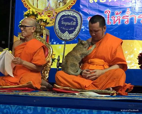 試される僧侶。猫の思いっきり甘えるの攻撃に耐えられるか?(タイ ...