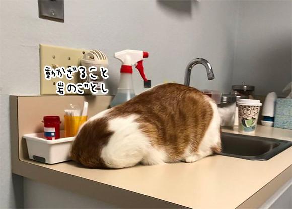 岩になったり死んだふりしたり...動物病院嫌いな猫たちの戦略
