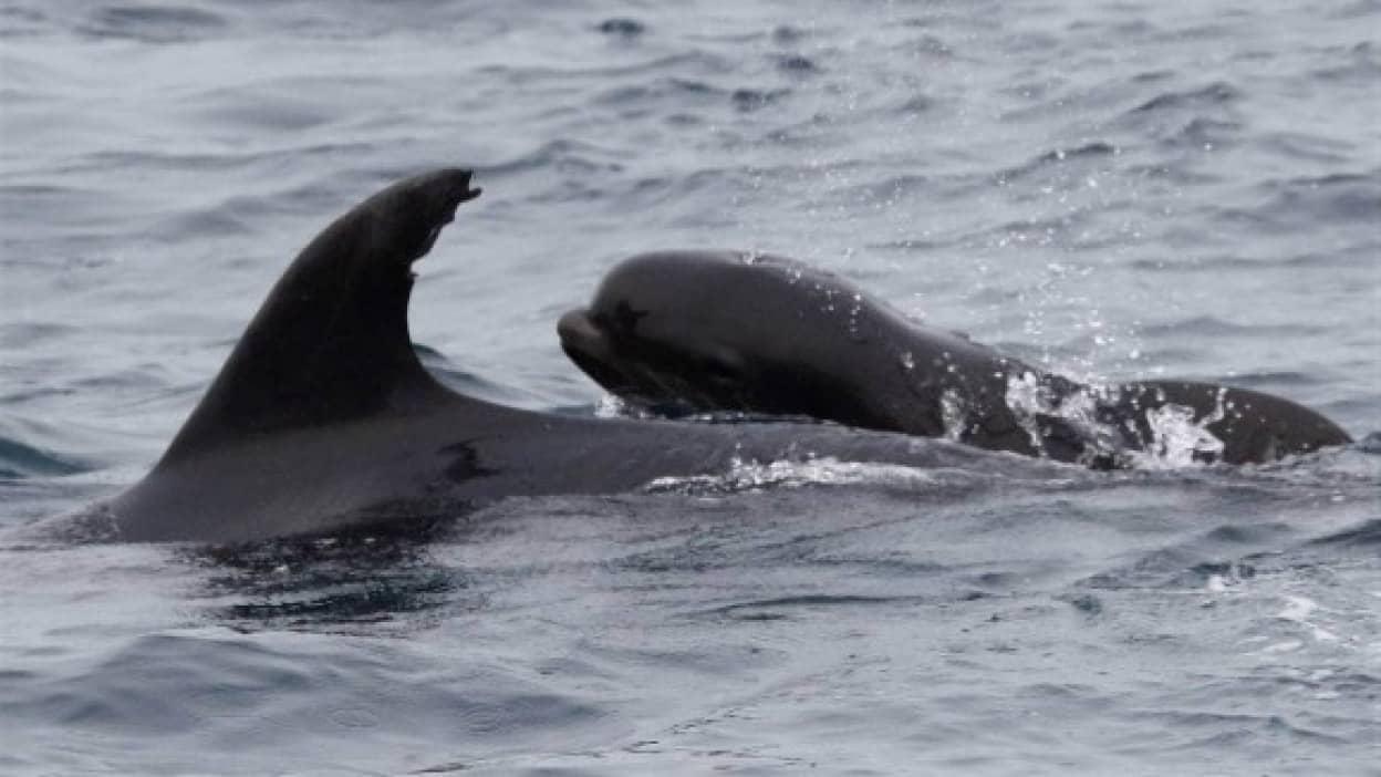 イルカの母さん、鯨の赤ちゃんを育てる