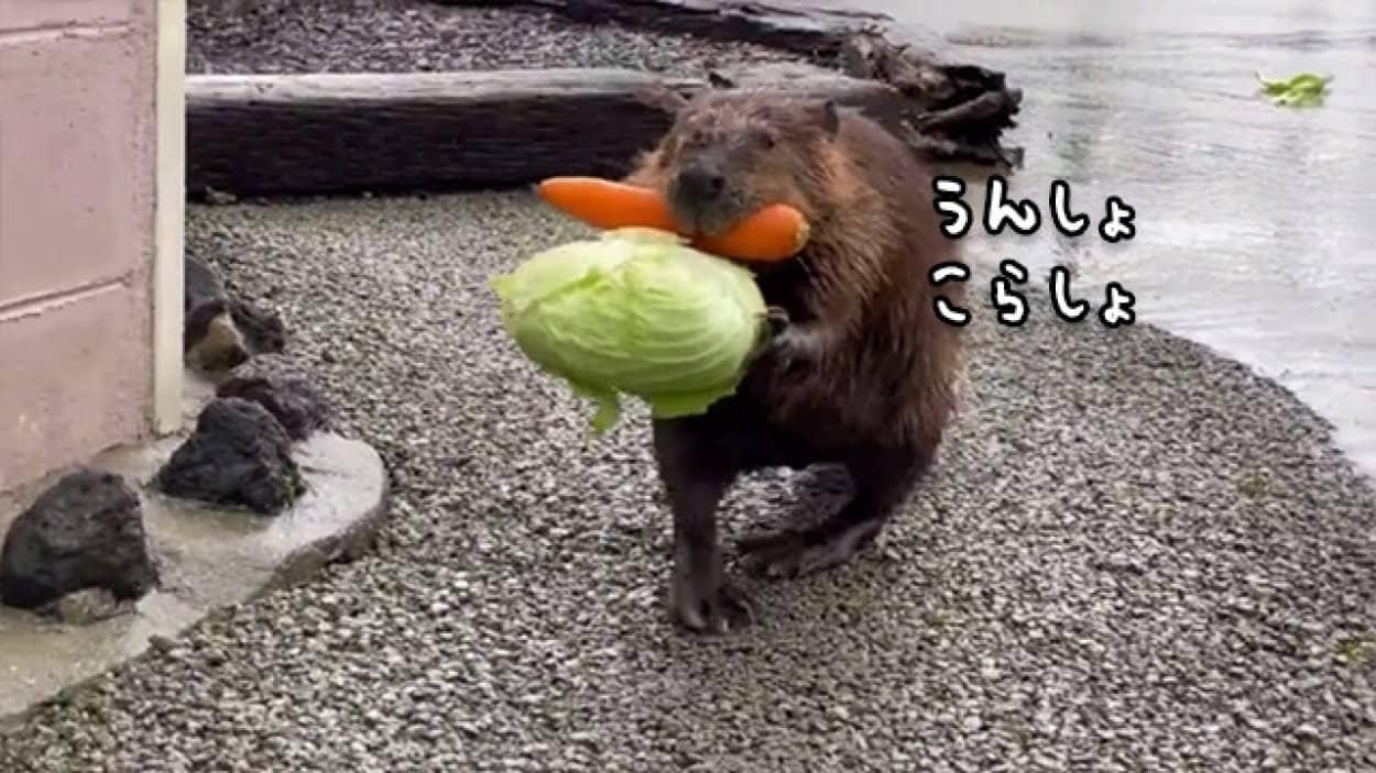 食いしん坊のビーバーが抱えきれないほどの野菜を持って移動中