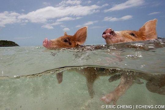 swimming_pigs_15