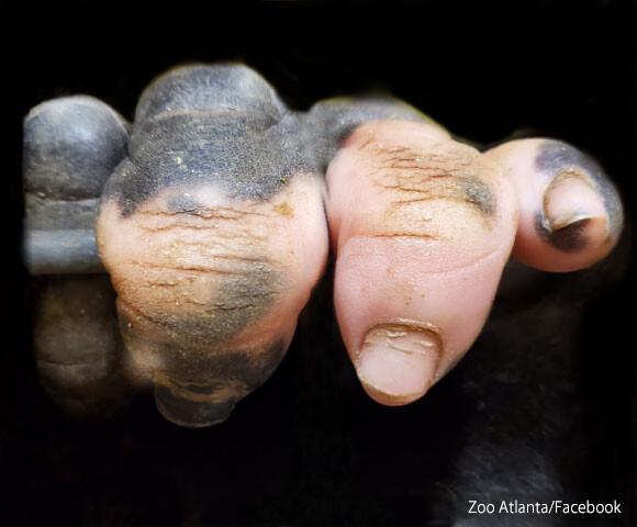 ゴリラの手って人間に似てる!指の一部がピンク色のゴリラの手のクローズアップ写真