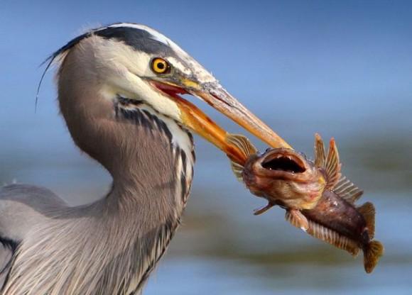 魚の目に寄生して、魚を意のままに操る恐ろしい寄生虫の生態が明らかに(ロシア研究)