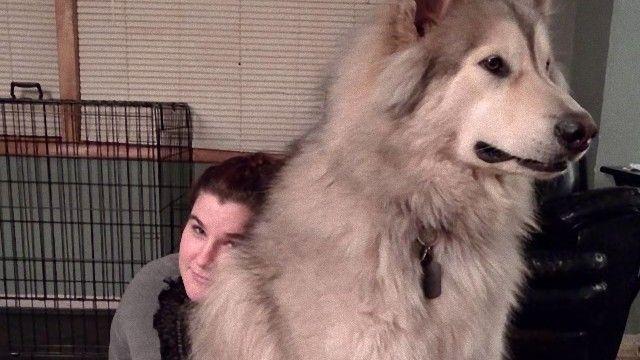 隣の犬は大きすぎた。大きくなっても甘えん坊な巨大犬たちファイナル