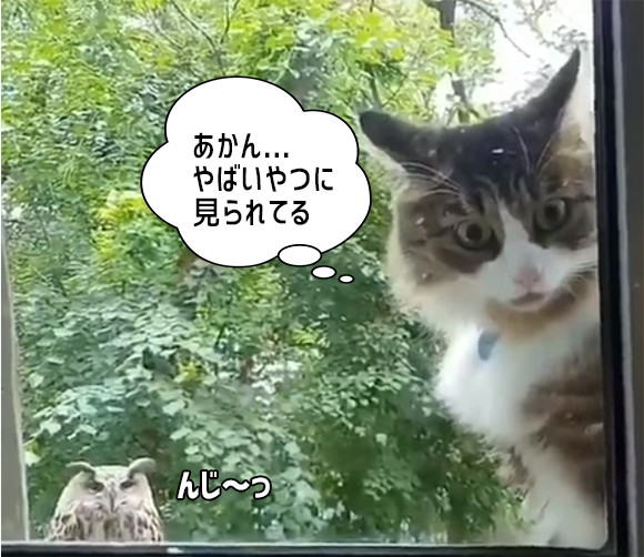 ニンゲン!早く窓開けろ!! フクロウにロックオンされた猫のこっち見るな感がすごい