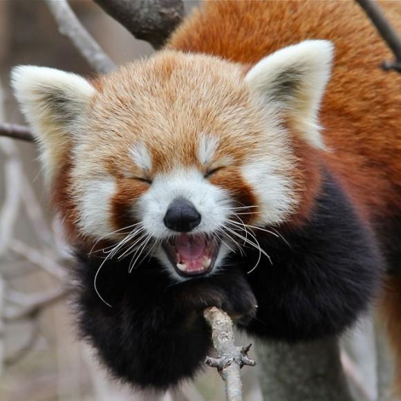 あくびをしているレッサーパンダ