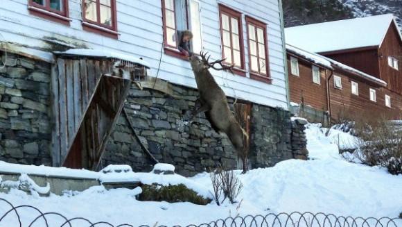 アレくれや!おばあさんの元へお菓子をもらいに毎日やってくる野生の鹿(ノルウェー)
