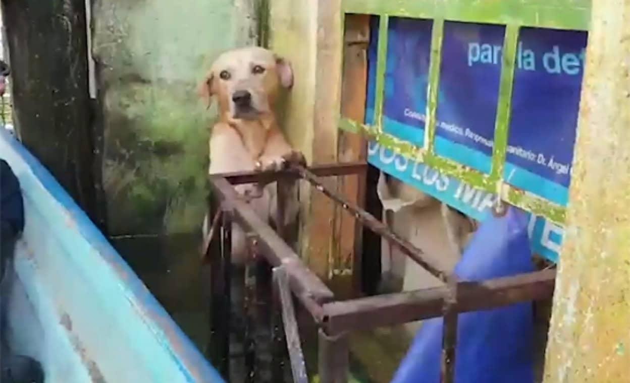 洪水の中水浸りになりながらじっと耐えていた犬