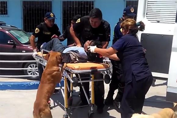 やだ絶対一緒にいる!怪我をした飼い主の救急車に乗り込み病院でもずっと付き添った2匹の犬(ペルー)