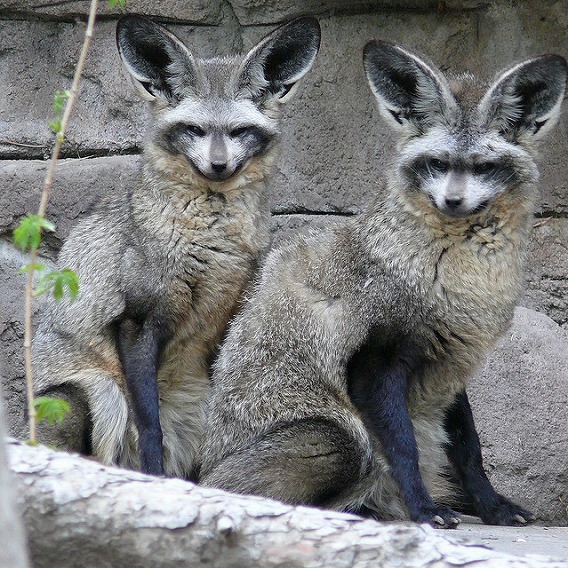 bat eared fox 11