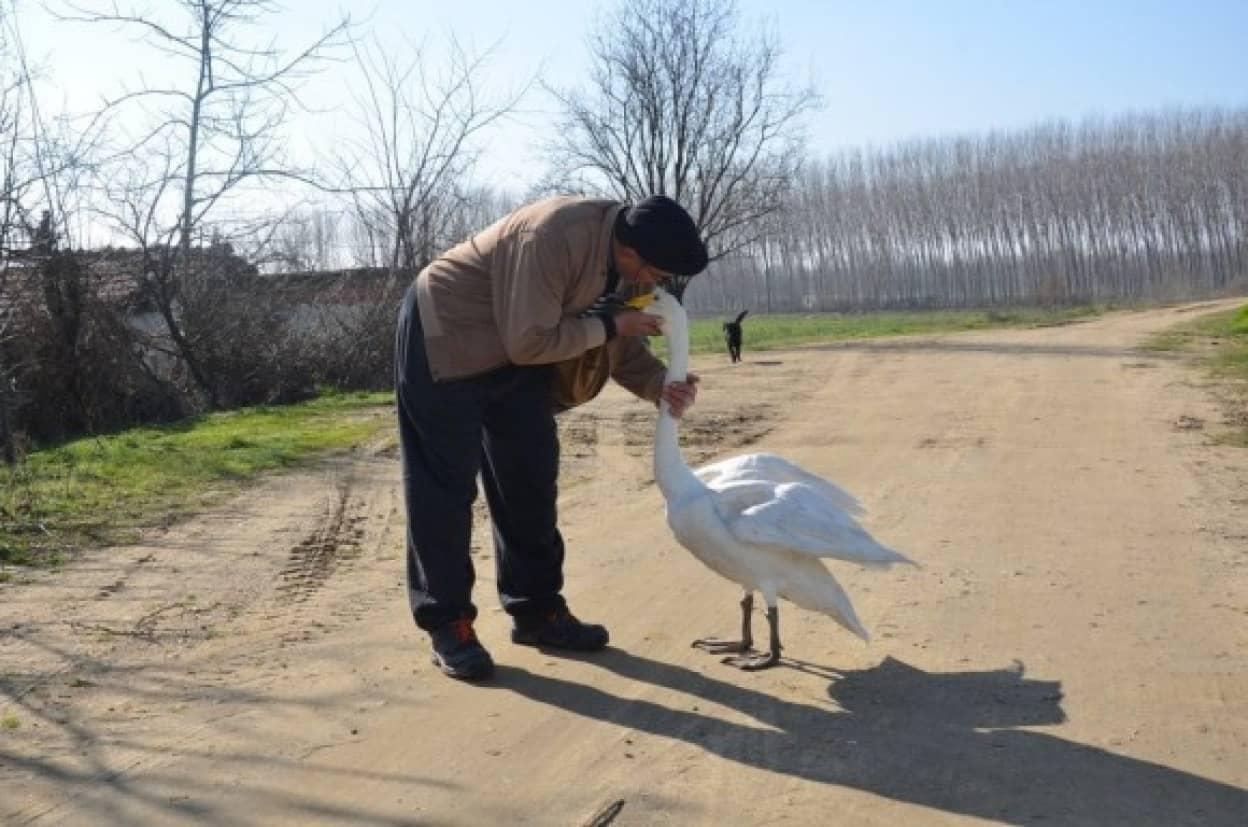 命を救ってくれた男性に37年間添い遂げる白鳥