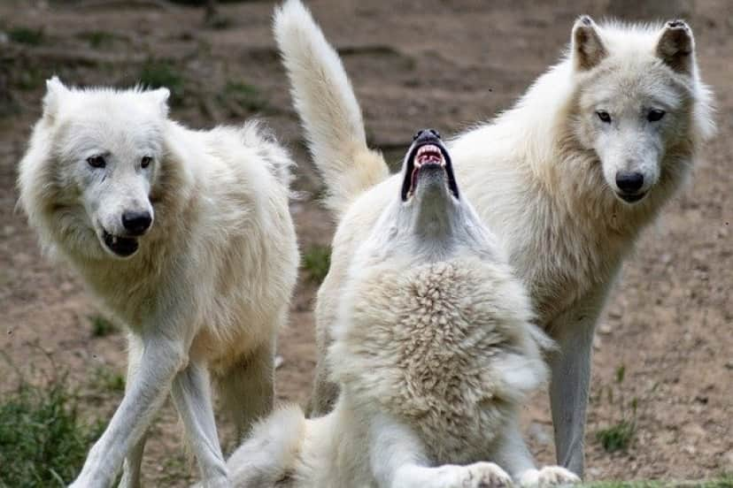 wolf-5325060_640