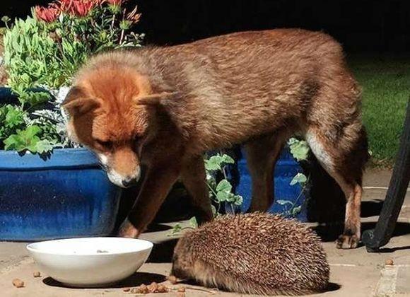 裏庭に来るキツネたちに餌を置いておいたところ、かわいいお客さんが!野生のハリネズミがご来店(イギリス)
