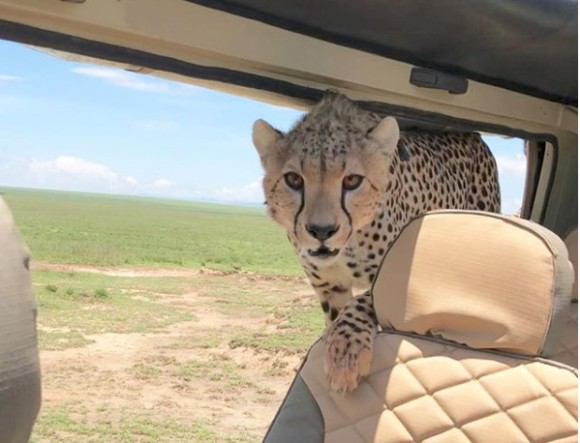 「参加させてもらおうか」サファリを車で移動中、乗り込んできたのはチーター先輩!(タンザニア)