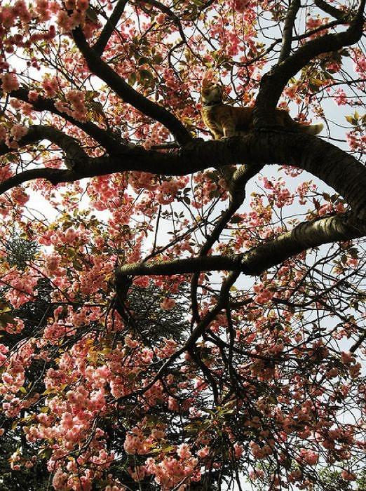 cherry_blossom_tree_cats_14