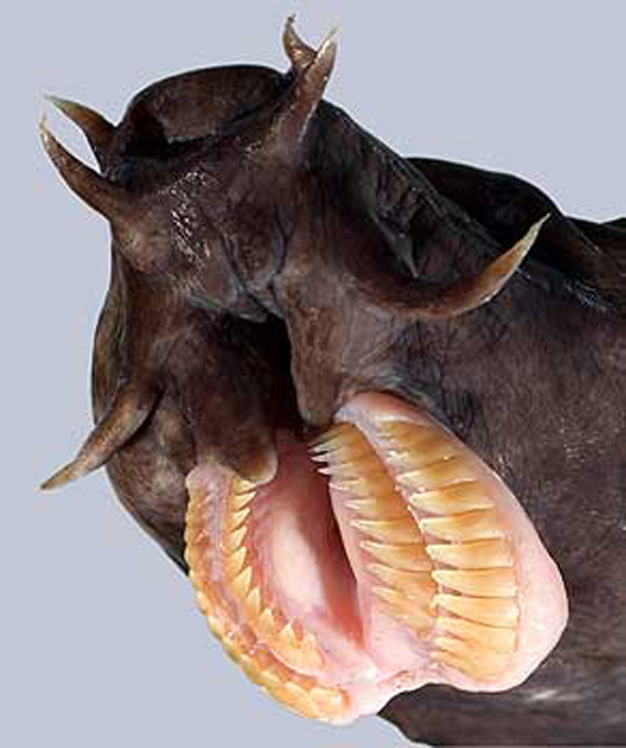 hagfish-teeth