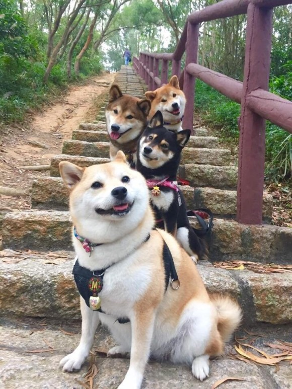 階段でポーズをとる4匹の犬があまりにもかわいすぎたのでコラ職人頑張る。そして猫参戦。