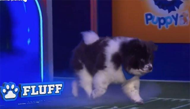 スーパーボウルの裏の祭典、小犬たちによるパピーボウル