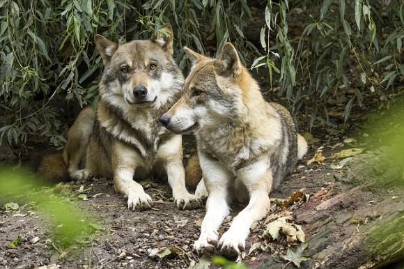wolf-1384945_640_e