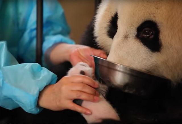 パンダは双子のうち1頭しか育てない……それならば!ニンゲンが思いついた驚きの方法
