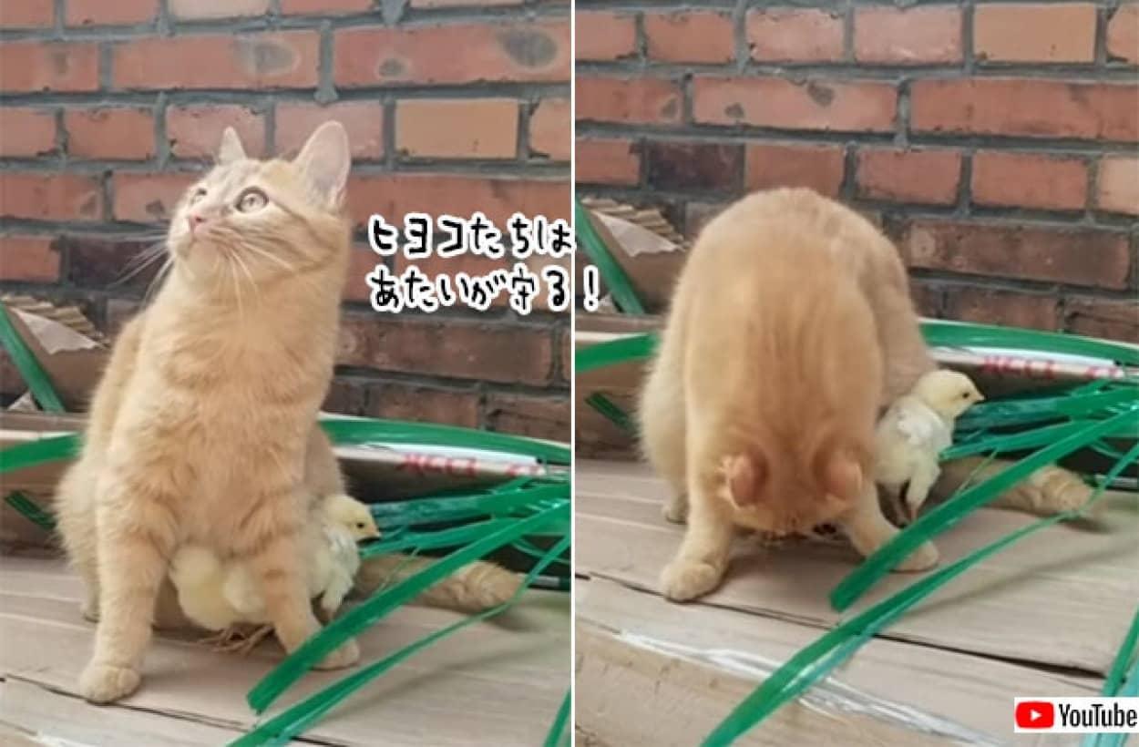 猫が全力でヒヨコたちを守る