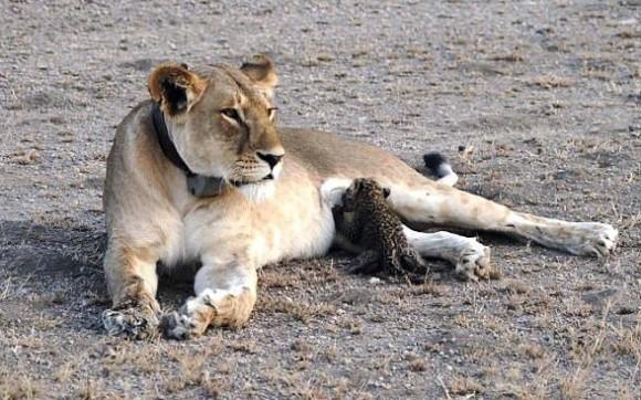母性はきまぐれ。メスライオンがヒョウの赤ちゃんにお乳を与える姿が目撃される(タンザニア)